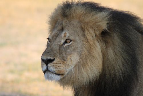 cecil-the-lion